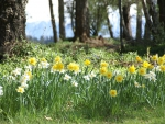 daffs-and-mt-hutt